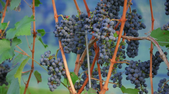 grapes-vineyard-tour
