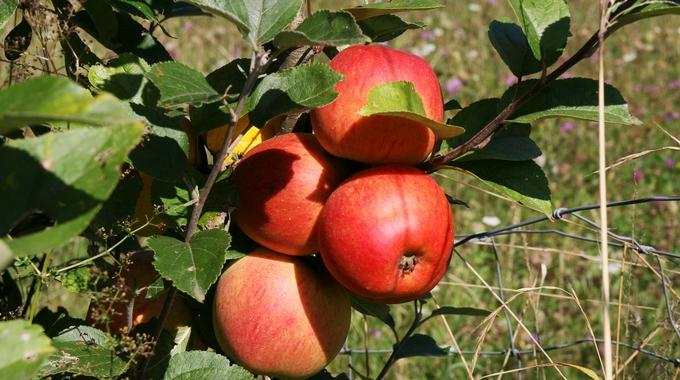 apple-scrapple